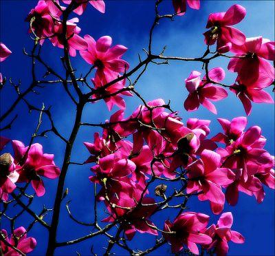 Магнолия. Magnolia