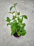 Продава растение стевия - заместител на захарта, естествен подсладител, лечебна и диетична.