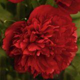 Дървовиден божур / Ориенталска роза / Tree Peony Oriental Rose Light Pink