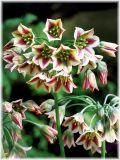 Луковици Самардала Allium Bulgaricum