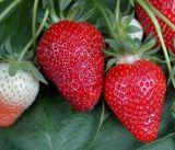 Целогодишни ягоди сорт Клери
